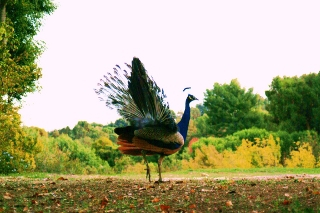 Peacock in PV