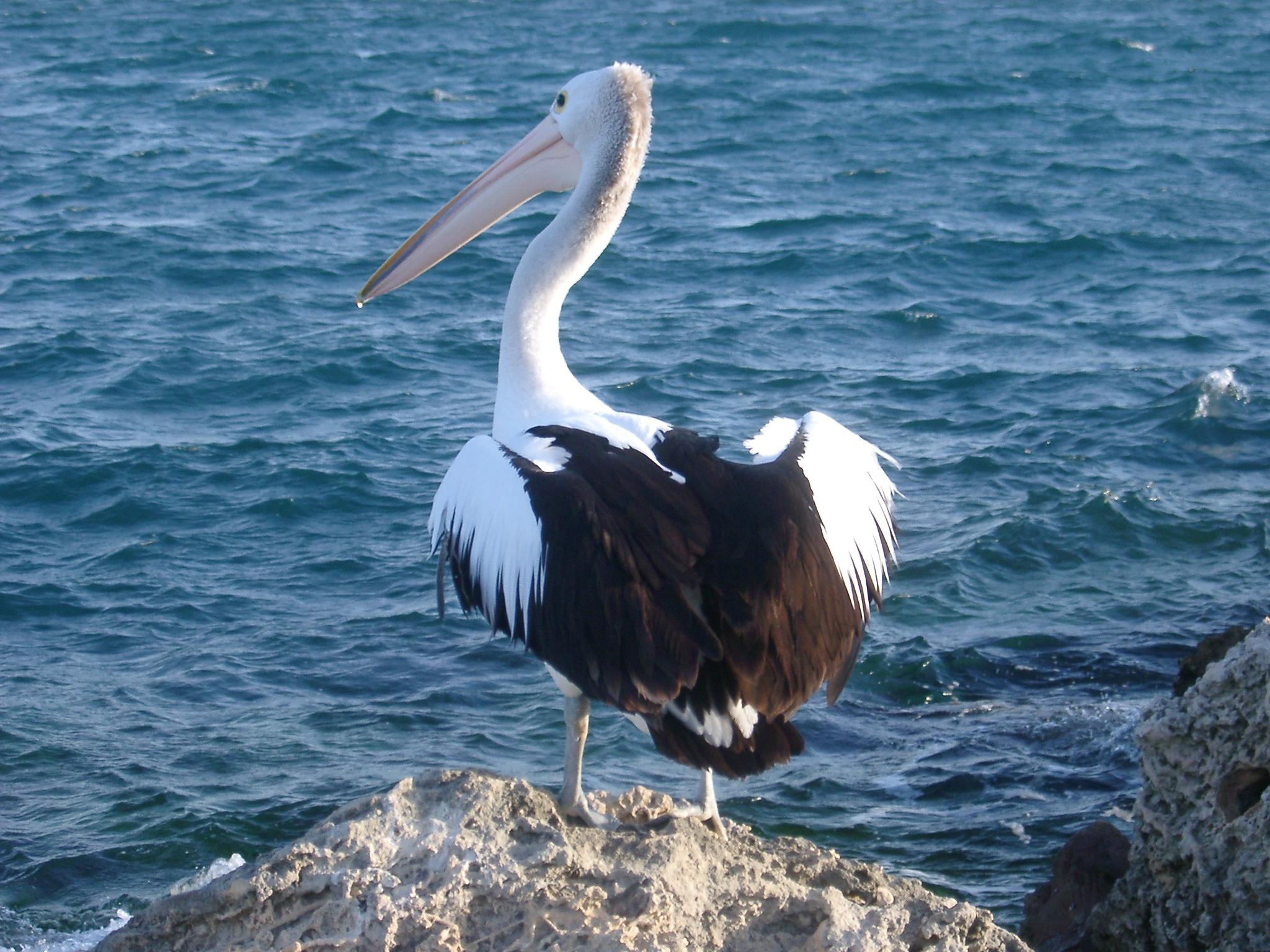 blog pelican