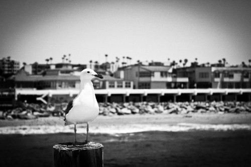Seagull in Redondo