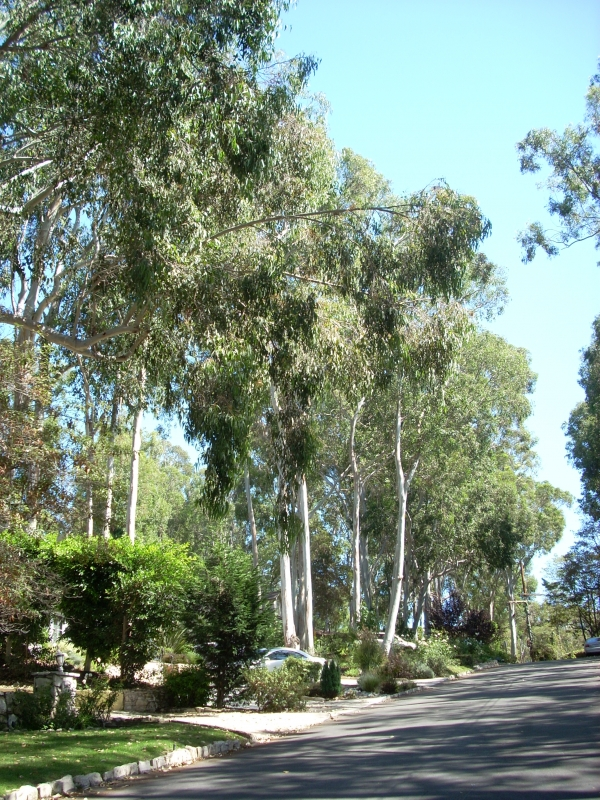 Tree lined streets in Valmonte - Palos Verdes Estates