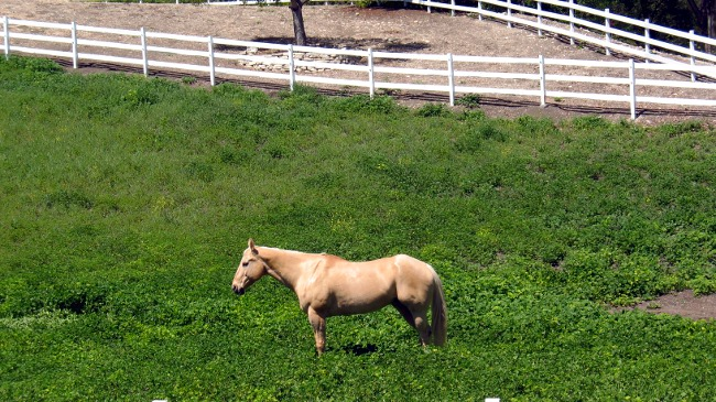 Palos Verdes Horses Live the Good Life