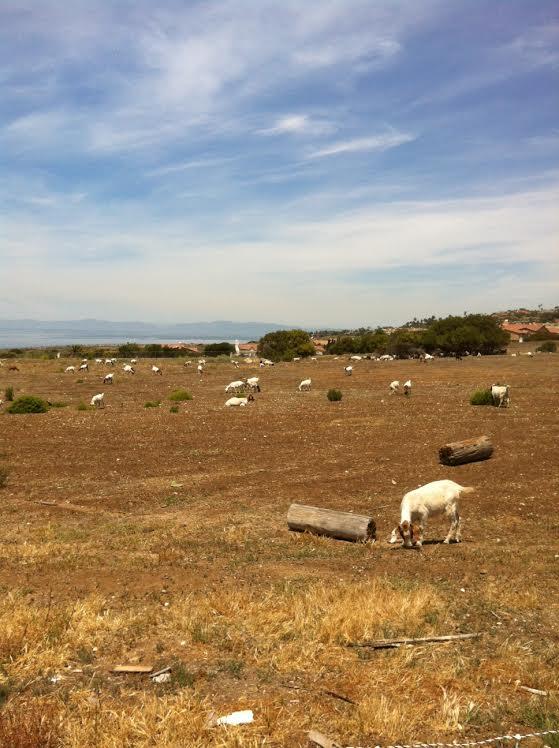 Goats at Oceanfront Estates