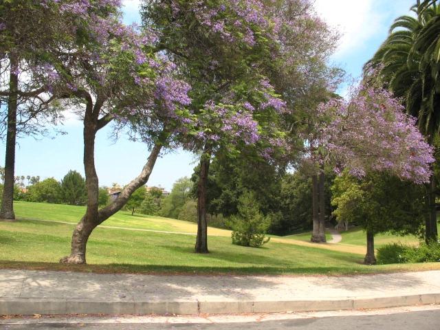 Averill Park San Pedro - Jacaranda Trees