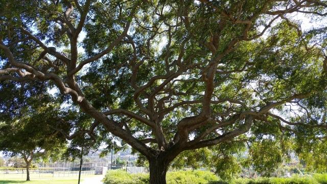 Tree in Torrance Park